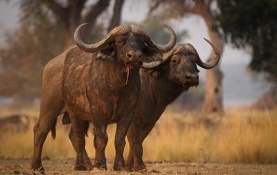 bivol-indian-Bubalus-bubalis-animal-terestru