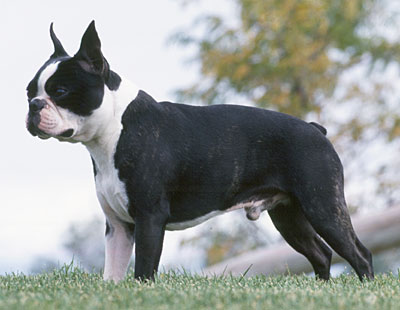 boston-terrier-in-iarba-origine-si-istoric