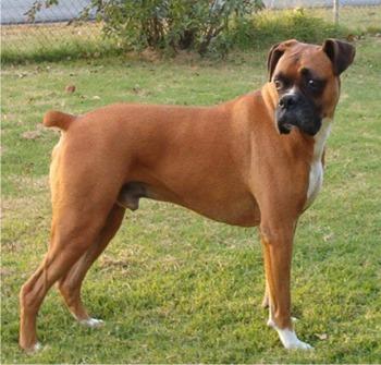 boxer-profil-puternic