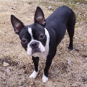 caine-boston-terrier-probleme-oculare