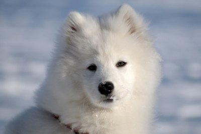 caine-samoyed-musculos