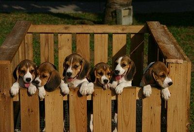 caini-beagle-sanatate-si-puncte-vulnerabile