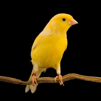 canar-galben-culori