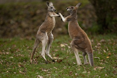 canguri-luptandu-se-animal-erbivor