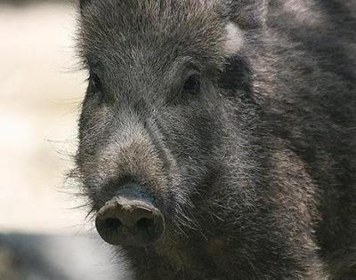 cap-porc-mistret-blana-animal