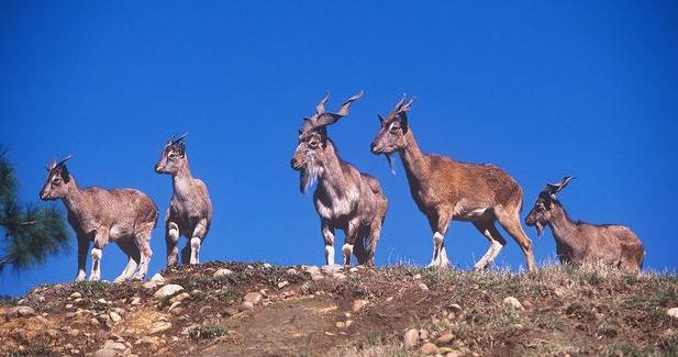 capre-himalayene-animal-poligam