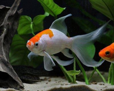 caras-auriu-alb-peste-rezistent