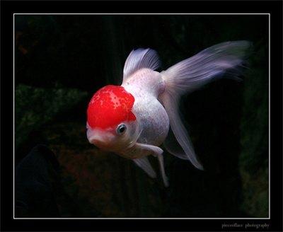 caras-auriu-oranda-omnivor