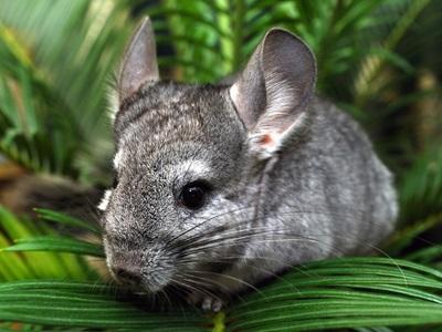 chinchilla-apa-proaspata
