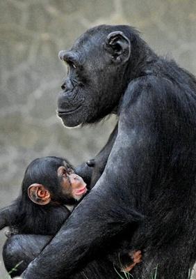 cimpanzei-animale-salbatice