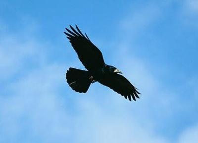 cioara-de-seamanatura-corvus-frugilegus-cuibul