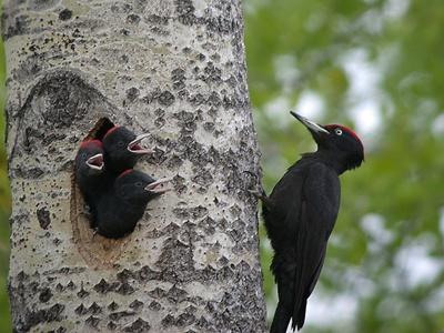 ciocanitoare-neagra-cuiburi