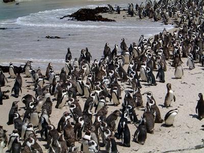 colonie-pinguini-inoata