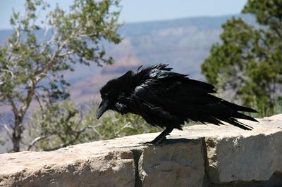 corb-corvus-corax-pe-piatra-hrana
