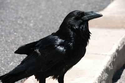 corb-corvus-corax-cuibul