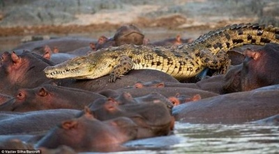 crocodil-pe-hipopotami-vulnerabil-la-boli