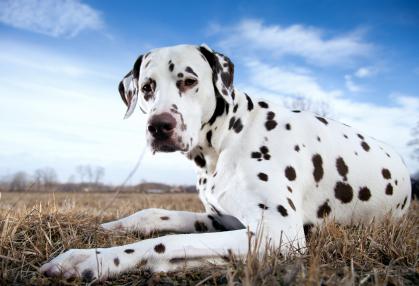dalmatian-peisaj-probleme-legate-de-auz