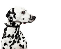 dalmatian-profil-reproducere