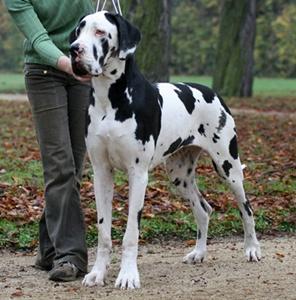 dog-german-profil-caine-de-paza