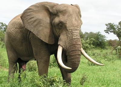 elefant-trompa