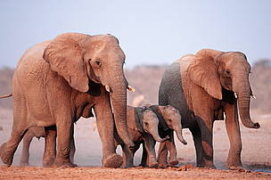 familie-elefanti-pui