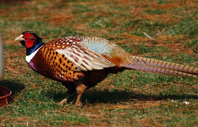 fazan-profil-penaj