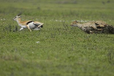 ghepard-urmarind-o-gazela-prada