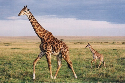 girafa-si-pui-picioare-lungi