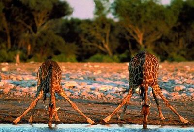 girafe-adapandu-se-animal-rapid