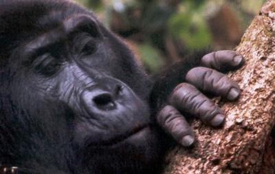 gorila-de-munte-fata-masiva