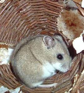 hamster-chinezesc-gri-Cricetulus-griseus
