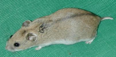 hamster-chinezesc-acvariu-din-sticla