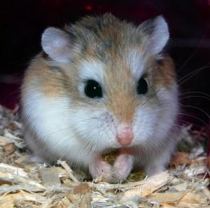 hamster-roborovski-activ