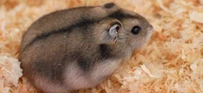 hamster-rusesc-pitic-in-rumegus-Phodopus-sungorus