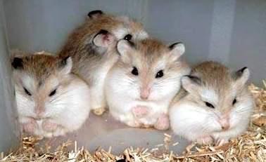 hamsteri-roborovski-sanatate