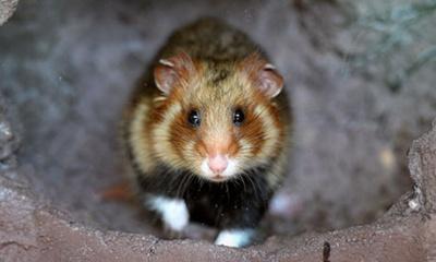harciog-profil-hamster