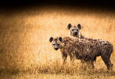 hiene-animale-carnivore
