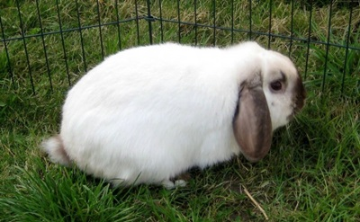 iepure-berbec-german-alb-animal-de-companie