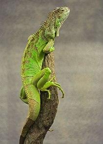 iguana-verde-crenguta-raze-UVA-UVB