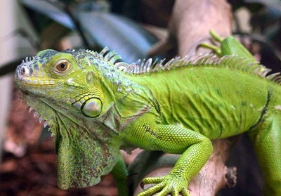 iguana-verde-profil-animal-de-companie