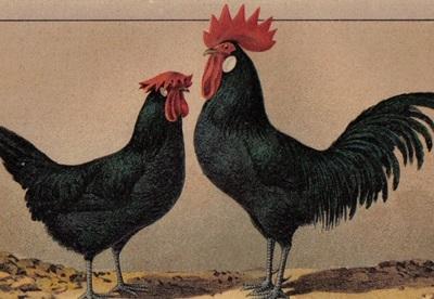 ilustratie-rasa-minorca-curte