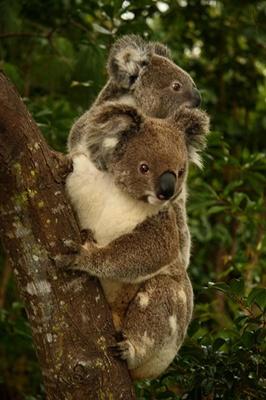 koala-blana