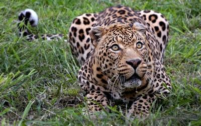 leopard-privire-intensa-captivitate