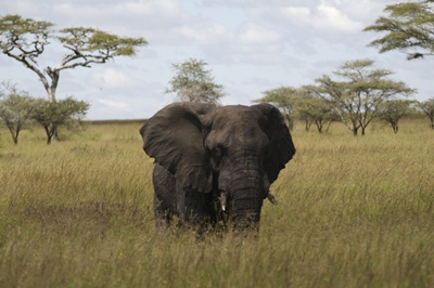 mascul-elefant-hrana