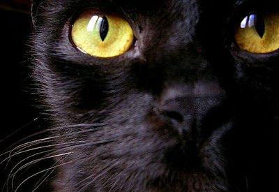 ochi-pisica-bombay-par-scurt