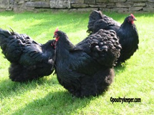 orpington-negru-creasta