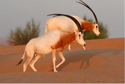oryx-cu-coarne-sabie-blana