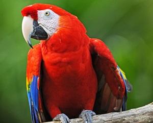 papagal-ara-stacojiu-rosu