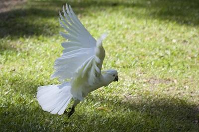 papagal-cacadu-alb-in-zbor-creasta