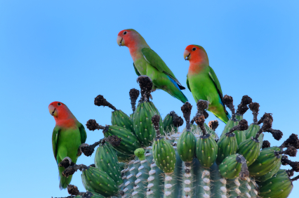 papagali-agapornis-culoarea-piersicii